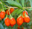 Goji Berry
